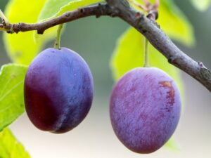 Pregnancy nutrition plums