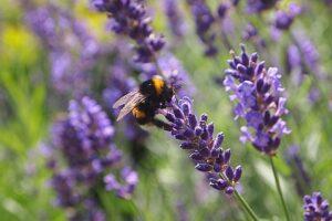aromatherapy-for-pregnancy